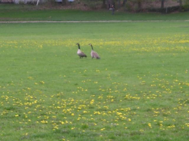 Even geese like Dandelions...