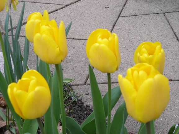 Tulips make the Spring in Southwest Michigan!