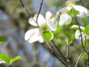 A Dogwood bloom.