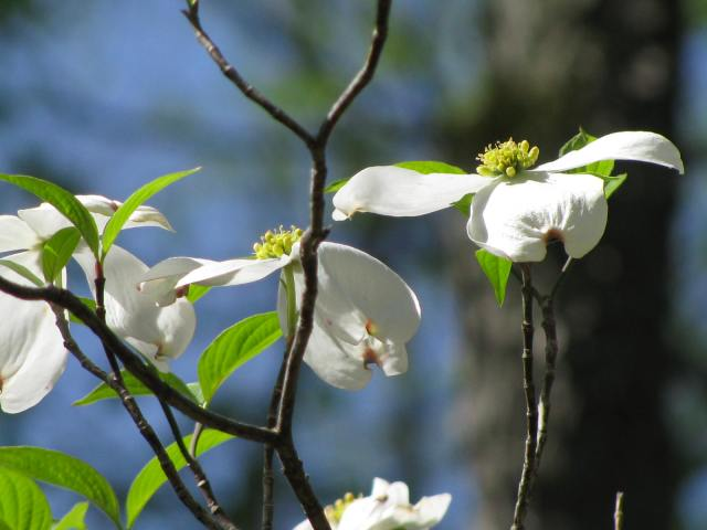 Dogwoods blooming in a Southwest Michigan forest.